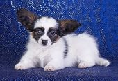 stock photo of epagneul  - Puppy of breed papillon on a blue background - JPG