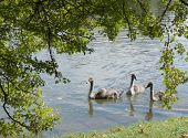 Young cygnets in the lake