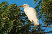Cattle Egret Roosting In A Tree