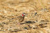 Male Cut-throat Finch (amadina Fasciata)