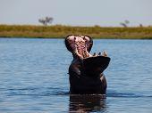 Hippo In Chobe River