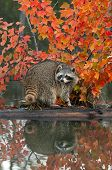 Raccoon (Procyon lotor) Looks Back With Reflection