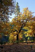 Black Oak Tree In Fall