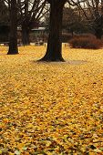 Ginkgo Trees With Leaves That Dropped.