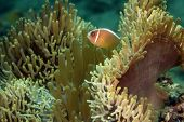 Clownfish Or Anemonefish
