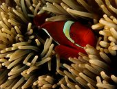 Spinecheek Anemonefish (amphiprion rubrocinctus)