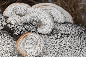 Mushrooms Covered With Hoarfrost