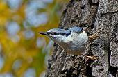 Nuthatch Runs Trees.