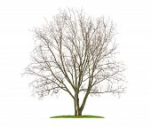 an isolated lime tree in the winter