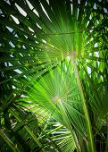 picture of humiliation  - The endemic fan palm Chamaerops humilis - JPG