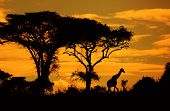 Savanna's silhouettes with acacias and giraffe at sunset. Kenya