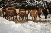 stock photo of hereford  - Hereford cattle in a field in the winter - JPG