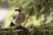 Jay bird on a twig