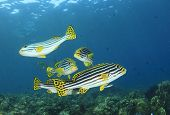 Oriental Sweetlips fish underwater on coral reef