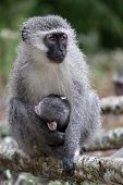 Baby Vervet Monkey And Mother