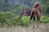 Shy Bushbuck Antelope