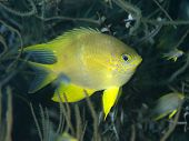 picture of damselfish  - Golden damselfish in Bohol sea Phlippines Islands