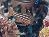 Ochre-striped Cardinalfish