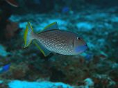 Gilded Triggerfish