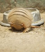 Armadillo rolling in.