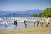 pic of brahma-bull  - A small herd of cows walk along a beach in Costa Rica - JPG