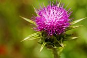 Violet Thistle Flower On Poppy Field
