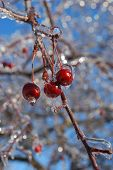 Red Crab Apples covered with ice