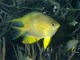 foto of damselfish  - Golden damselfish in Bohol sea Phlippines Islands  - JPG
