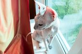 Sphinx Cat Sitting On Windowsill