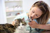 Veterinarian examining cat ear infection