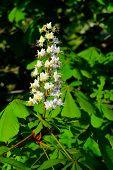 Flower Chestnut Closeup (lat. Castanea)