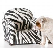 concept of dog being allowed on furniture - english bulldog