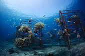 Underwater shot of metal structures with planted corals in Biorock restoration area in the village o