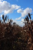picture of sorghum  - agriculture in argentina - JPG