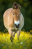 Przewalski horse grazing on a lovely meadow