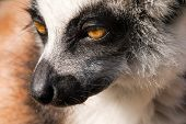 Head Of Ring-tailed Lemur - Lemur Catta - From Madagascar