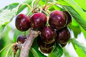 Bunches Of Ripe Juicy Cherry Dark Bordo Berry