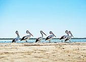 Six pelicans in a line