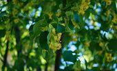 pic of linden-tree  - Blooming of linden tree in teh summer park - JPG