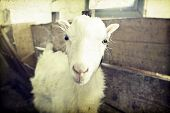 foto of baby goat  - Vintage photo of a goat - JPG