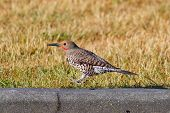 Hopping Northern Flicker