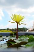 Yellow Lotus In The Sink