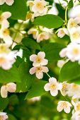 Preview Plant Twig Flower Blooming Jasmine