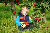 Adorable Toddler Boy Picking And Eating Red Apples In An Orchard