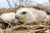 foto of long-legged-birds  - Long legged Buzzard young chick in the nest - JPG