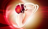 stock photo of fimbriae  - Digital illustration of female reproductive system in colour background - JPG