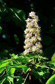 Blooming Chestnutt (lat. Castanea)