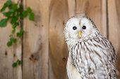 foto of banshee  - A Close up of a Ural Owl - JPG