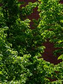 stock photo of linden-tree  - Close up of linden trees with leaves with a blurred brick wall on the background - JPG