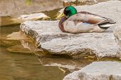 image of male mallard  - Male Mallard Duck sitting on a rock next to a pond - JPG